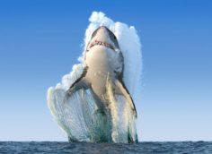 Рекордный прыжок большой белой акулы, также известной как акула-людоед